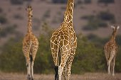 Reticulated giraffes in the savanna Solio Game Reserve Kenya