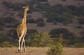 Reticulated giraffe in the savanna Solio Game Reserve Kenya