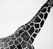 Oxpeakers on Reticulated Giraffe Solio Game Reserve Kenya