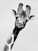 Portrait of Reticulated Giraffe Solio Game Reserve Kenya
