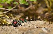 Cuckoo wasp on ground in a garden Lorraine France