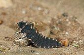 Glowworm attacking a small gray snail LorrraineFrance
