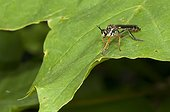 Common Red-legged Robberfly on leaf in forest France
