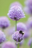 Bumblebee on flower Chives Lorraine France