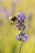 Hoverfly female on wild Lavender, France. Its larva parasite nests of hornets and wasps