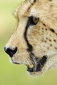 Portrait of Female Cheetah in the savanna of South Africa