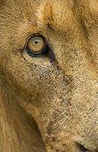 Regard de Lion mâle Afrique du Sud
