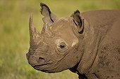 Portrait of Black Rhinoceros in the savannah Kenya