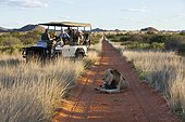 Tourists looking at a male lion lying the road in Kalahari