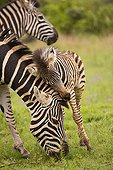 Burchell's zebra Mother and foal South Africa