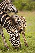 Zèbre de plaine femelle et jeune Afrique du Sud