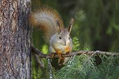 Eurasian red squirrel on a branch Finland