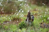 Great spotted woodpecker on a stump Finland