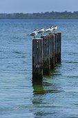Royal Terns on poles Punta Caracol Island Colon Panama