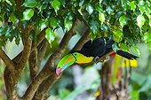 Keel-billed Toucan on a branch Chagres National Park Panama