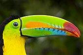 Portrait de Toucan à carène Parc National Chagres Panama