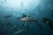 Blacktip Sharks and divers South Africa Indian Ocean  ; Aliwal Shoal