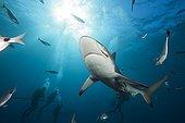 Blacktip Sharks and diver  South Africa Indian Ocean  ; Aliwal Shoal
