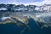 Blacktip sharks under surface ??South Africa Indian Ocean  ; Aliwal Shoal