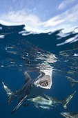 Blacktip sharks under surface South Africa Indian Ocean