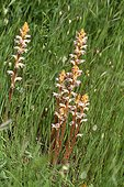 Small Broomrape and Big Quakingrass in a meadow France ; Peninsula of Giens
