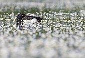 Male Tufted Duck amongst Water Crowfoot GB