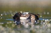 Male Tufted Duck preening amongst Water Crowfoot GB
