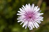 Pink Hawk's beard flower Peloponnese Greece