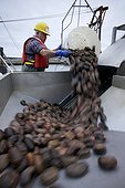 "Unloading sea cucumbers Newfoundland Canada ; Unloading of sea cucumber caught by the ""Emmeline,"" trawler Holy Pierrais by employees of the Canadian Fogo Island Co-op society, in the port of Grand Bank, Newfoundland (Canada)."