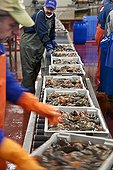 Preparation of sea cucumbers factory Fogo Newfoundland ; Cutting and emptying sea cucumber caught by trawlers 3 Holy Pierrais a chain factory in Fogo Island Co-op on the island of the same name, north-east of Newfoundland (Canada).