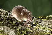 Eurasian shrew eating a worm Midlands