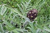 Artichoke in an organic garden in the spring France