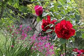 Red roses and Italian gladioli flowers in a garden France