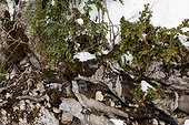 Camera trap hidden in the roots of a tree PNR Vercors France