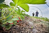 Culture of Strawberries 'Gariguette' in the ground in the greenhouse