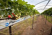 Soilless cultivation of strawberries in greenhouses France