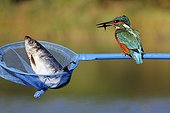 Common kingfisher on a dipnet with a fish England