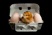 Chick in an egg box on a black background