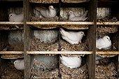 Pigeons nest in a loft France