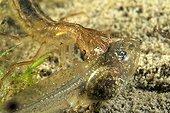 Larve de Dytique bordé capturant un têtard dans une mare  ; Prairies du Fouzon