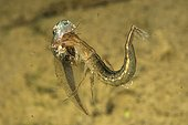 Great Diving Beetle larva capturing a tadpole in a pool  ; Prairie Fouzon