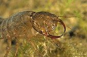 Great Diving Beetle larva in a pool Prairie Fouzon France