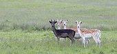 Flock Fallow Deers  in a meadow at spring GB