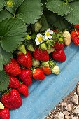 'Clery' stawberry under plastic tunnel culture in Provence