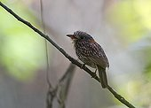 Semi-collared Puffbird on a branch Tambopata Peru