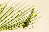 Praying mantis on a leaf of Cycas Provence France