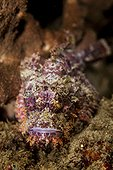 Portrait of Scorpionfish on the reef Indonesia