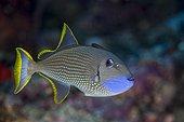 Baliste à bordures dorés dans le récif Indonésie