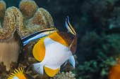 Pyramid butterflyfish and Cleaner wrasses Indonesia
