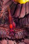 Starfish shrimp on pencil urchin Indonesia